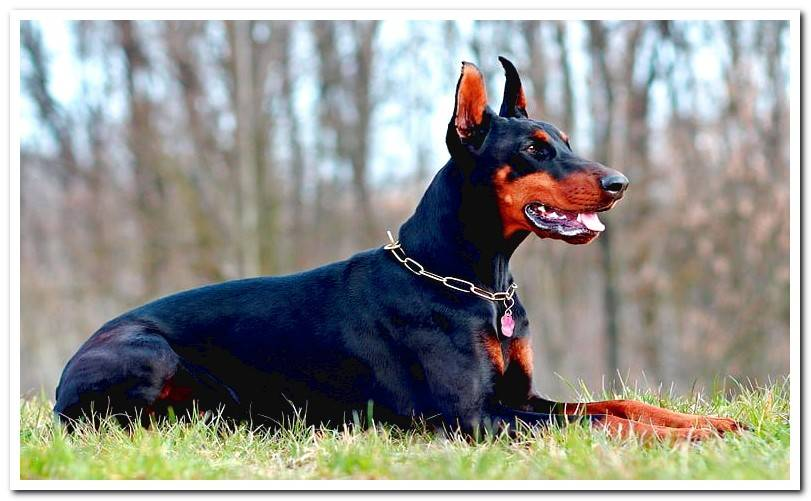 Everything about the Doberman breed Discover it!