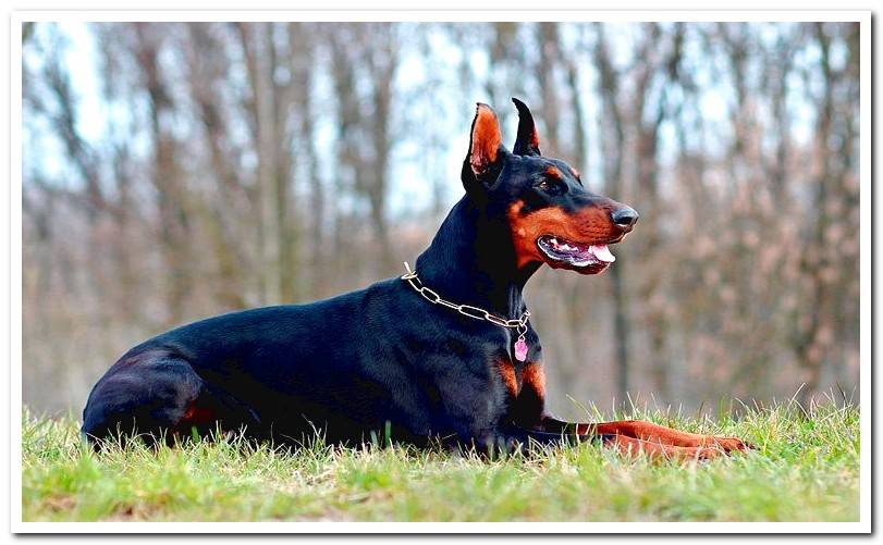 ESSENTIAL care for a Doberman dog Did you know?
