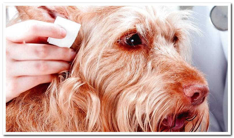 Malassezia in dogs - Causes and recommended treatment