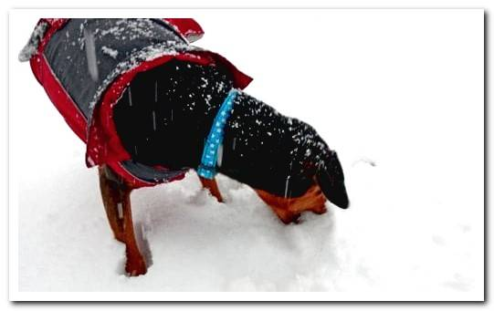 My dog ​​eats snow. Is it dangerous?