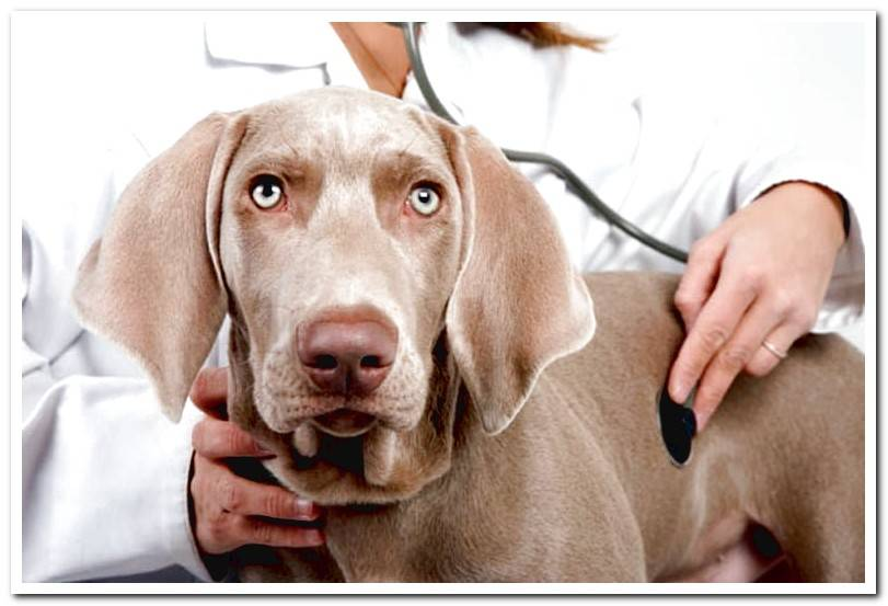 Dilated cardiomyopathy in dogs, symptoms and treatment