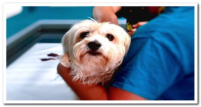 How to cure canine meningitis? Symptoms and recommended treatment