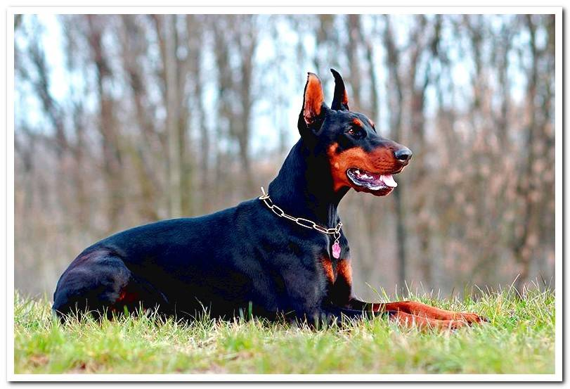 Origin of the Doberman breed - History and breeder