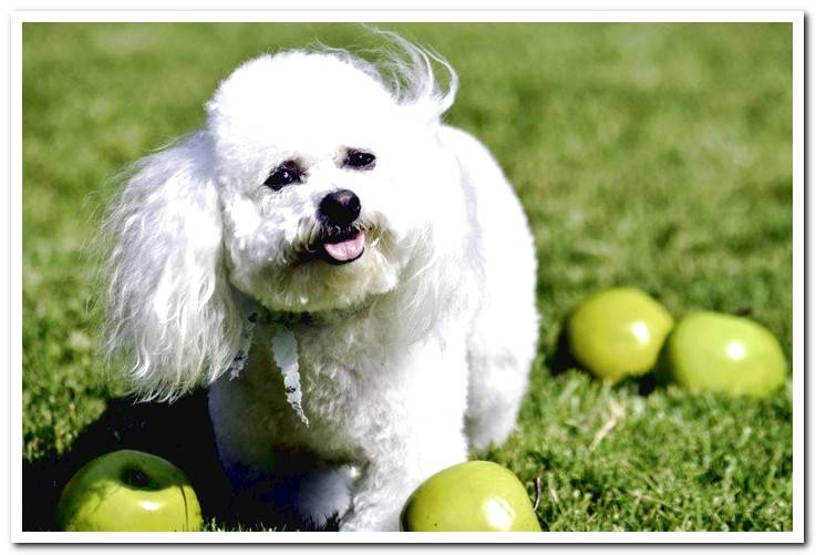 dog-surrounded-by-green-apples