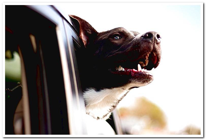 My dog ​​gets dizzy in the car What to do?