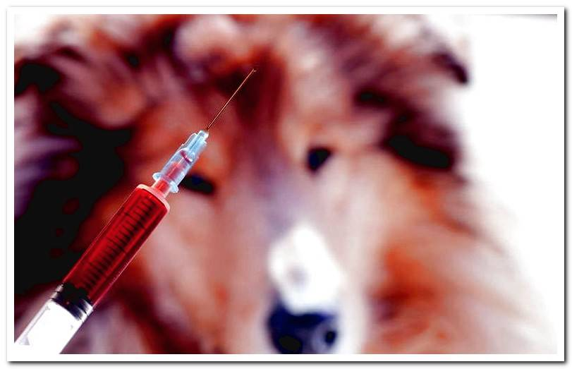 Canine Influenza contagion, symptoms and treatment