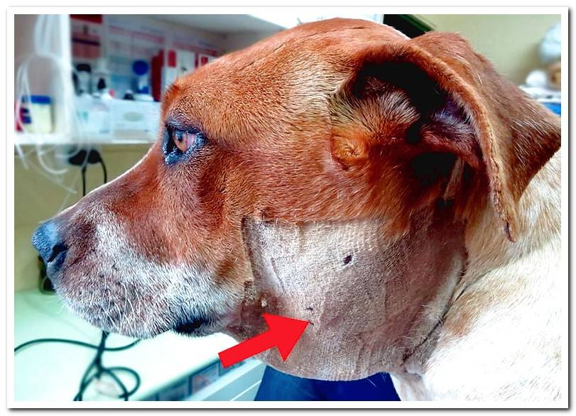 My dog ​​has a ball on his neck | Causes