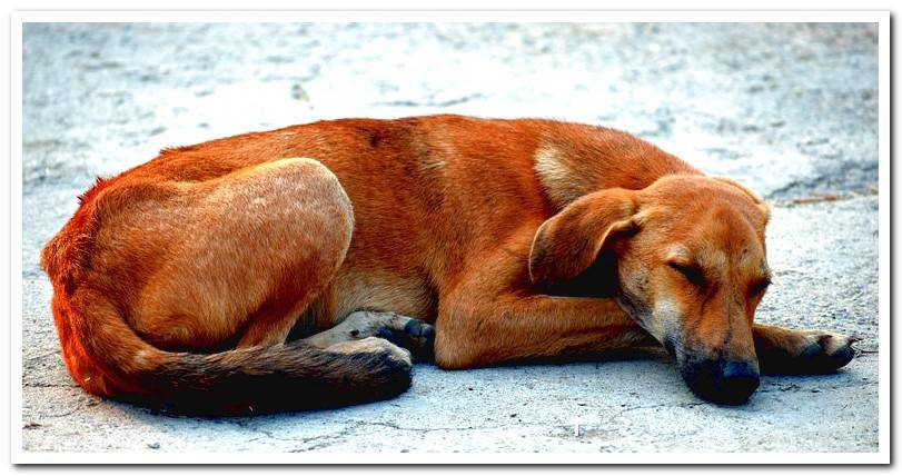 Canine amyloidosis - Symptoms and Treatment