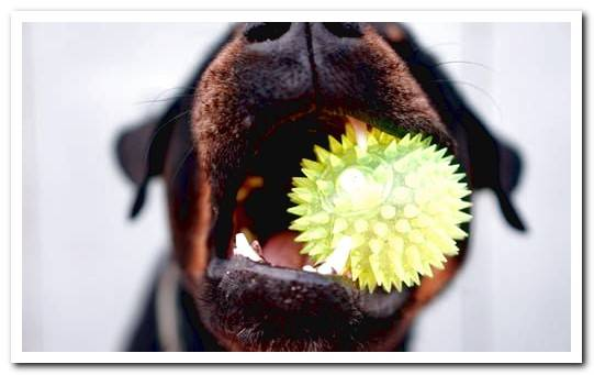 Canine gingivitis, how to detect and cure it