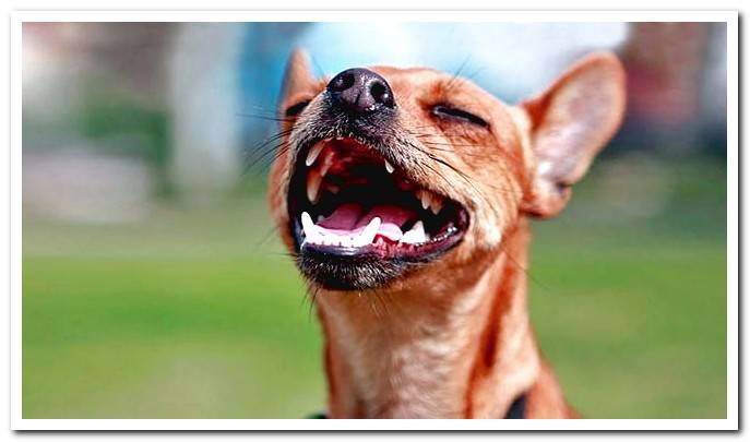 Pharyngitis in dogs - Symptoms and Treatment