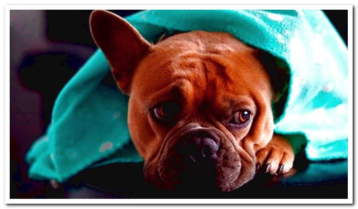 Canine rotavirus | Contagion, symptoms and treatment