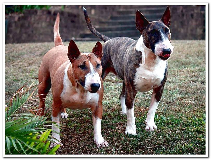 English Bull Terrier - Characteristics, temperament and care