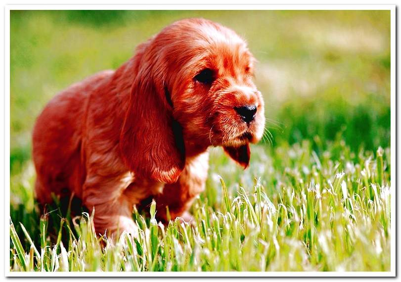 How is an English Cocker Spaniel? Features, colors and care