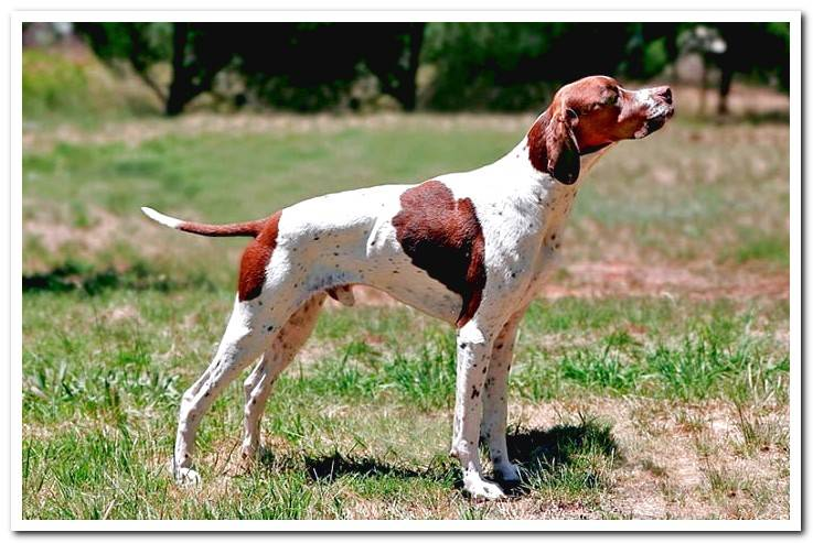 How is an English Pointer? Characteristics, temperament and care