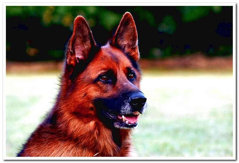 german-shepherd-of-fire-color