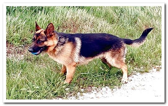 Complete guide to the German Shepherd With photos and video!
