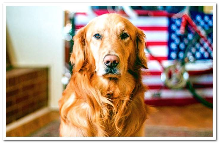 golden-retriever-paying-attention