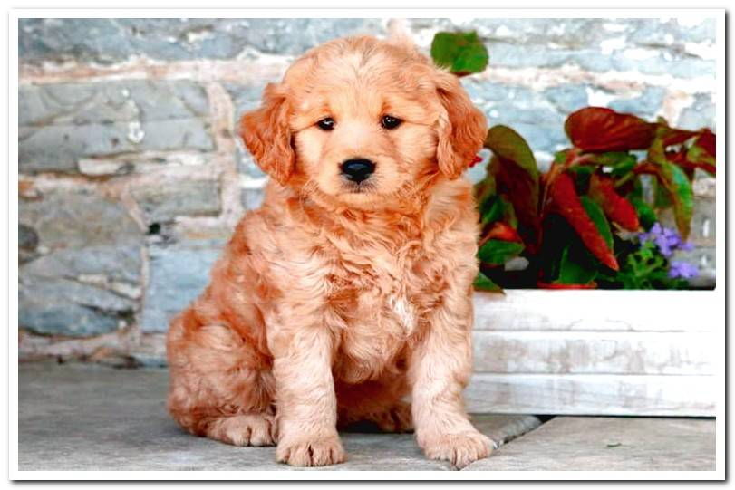 All about the Goldendoodle breed Photos and Video!