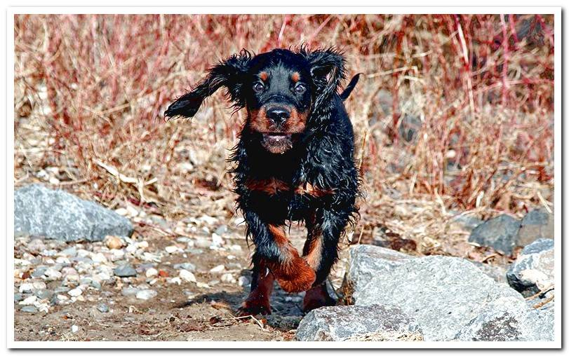 dog-gordon-setter-running