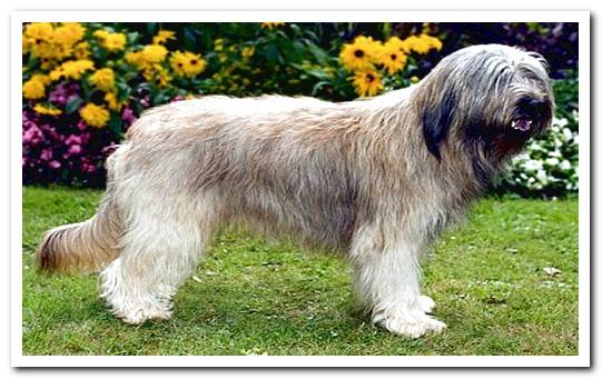 The dog Gos d´Atura - Complete information about the breed