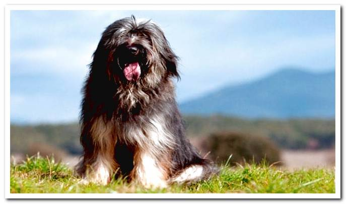 The 13 best breeds of Sheepdogs in the world