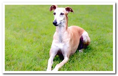 Galgo Español - Characteristics and care
