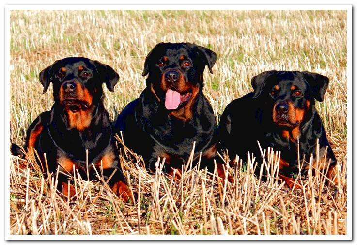 group-of-dogs-of-breed-rottweiler