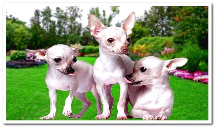 Hairless Chihuahua, the only Chihuahua without hair