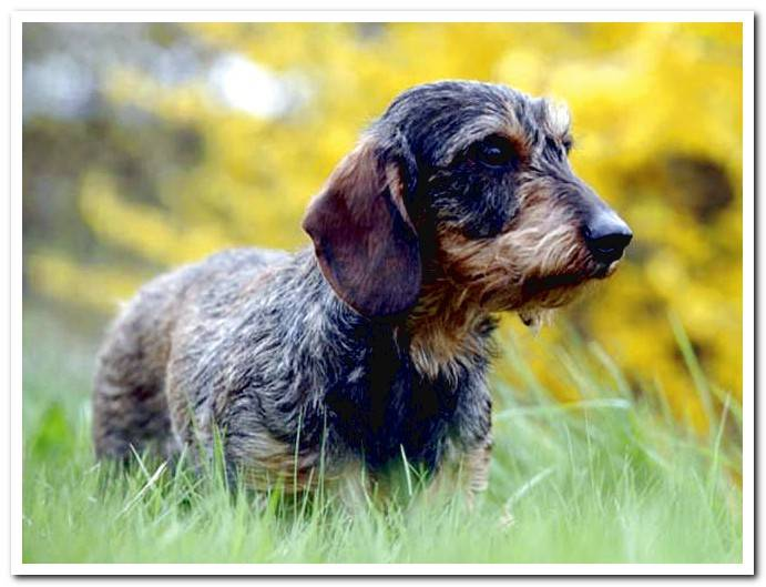 hard-haired-dachshund-in-the-field