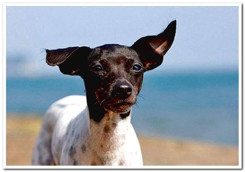 How is a Japanese Terrier? Features and care