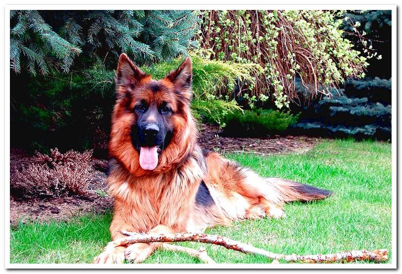 Characteristics of the long-haired German Shepherd