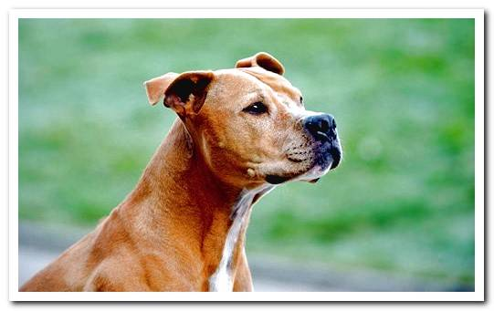 American Pitbull terrier - Complete Breed Information