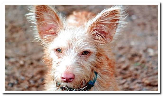 The Portuguese Podenco - Discover the characteristics of the breed With Photos!