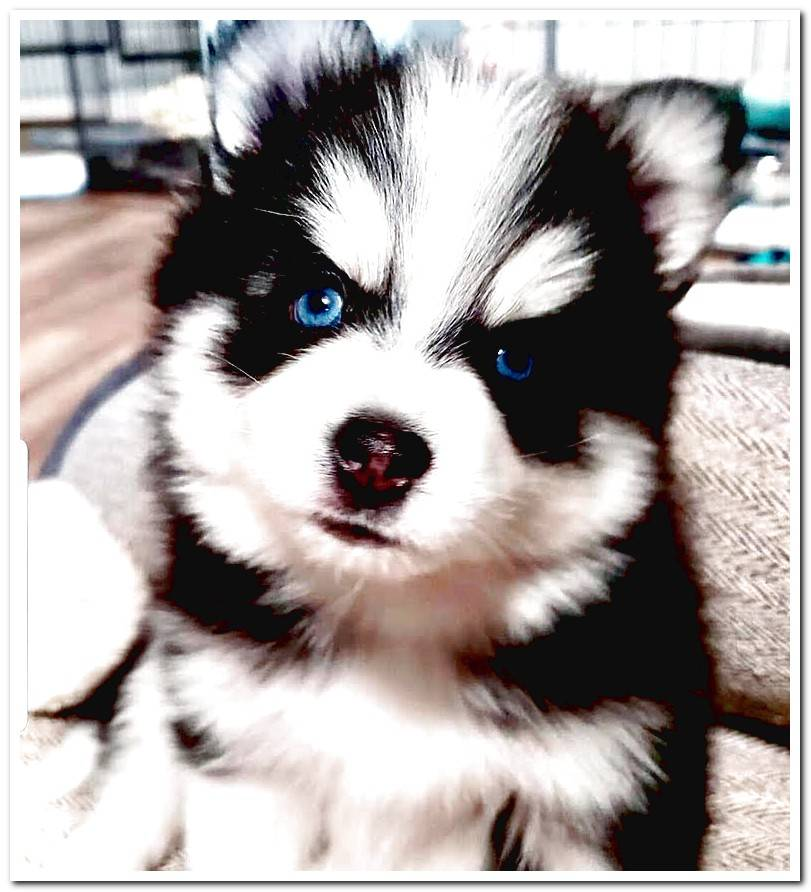 Pomsky breed guide With photos and videos!