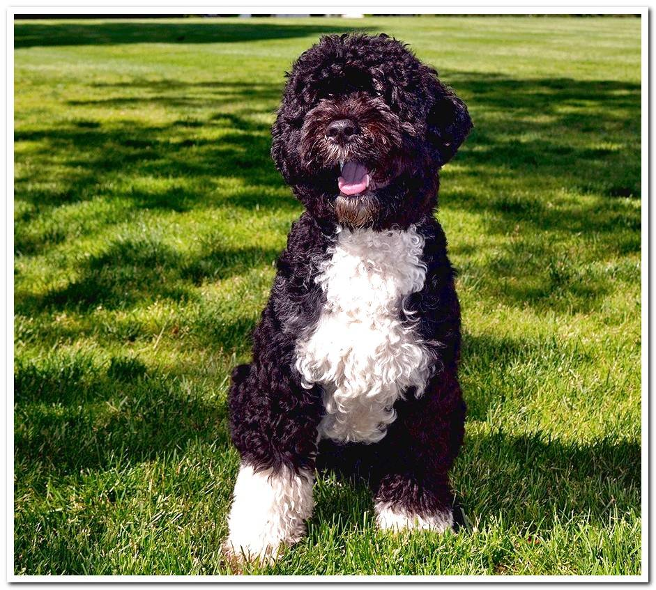 Portuguese water dog - History, character, care and types