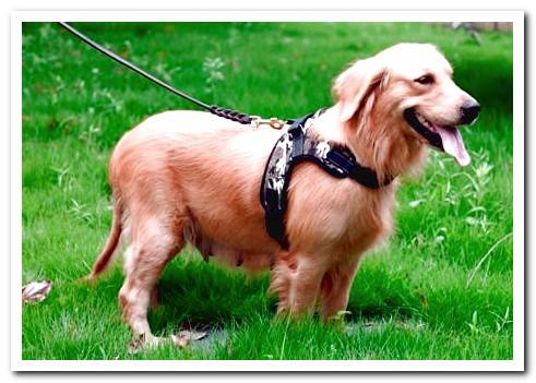 Types of harnesses and collars for dogs