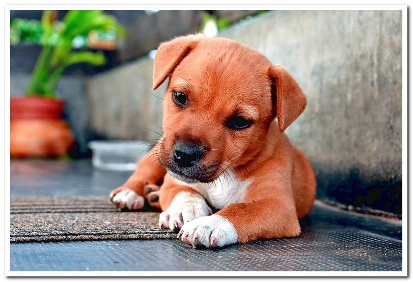Is it dangerous to walk a puppy without vaccines? Watch out!