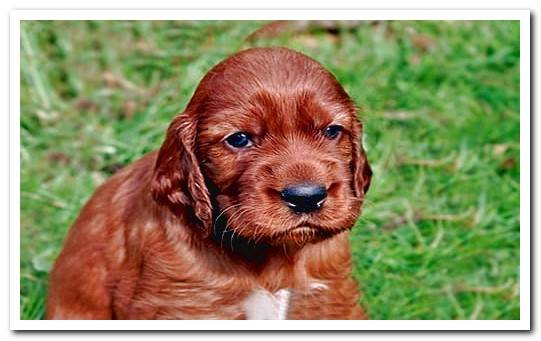Irish Setter Breed Character - Complete Guide