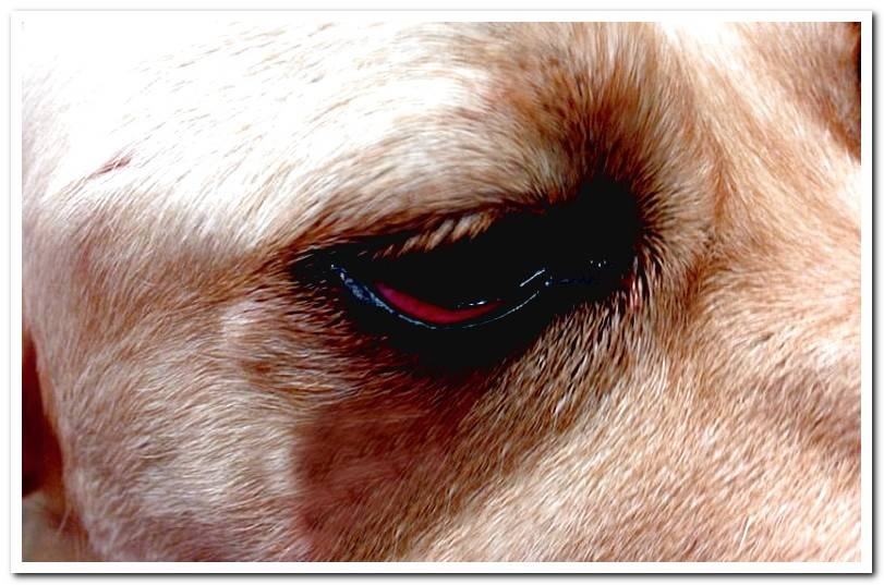 5 Causes of red eyes in Dogs and how to act