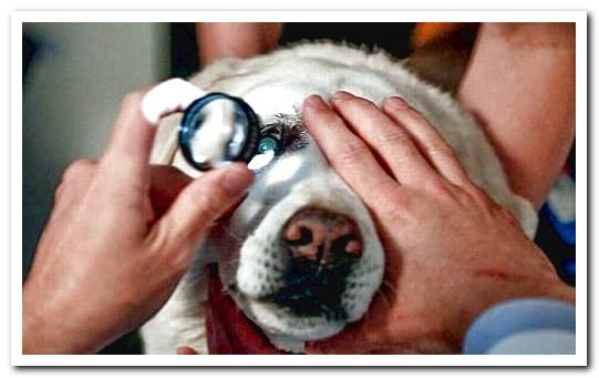 Canine Uveitis - Symptoms and Treatment