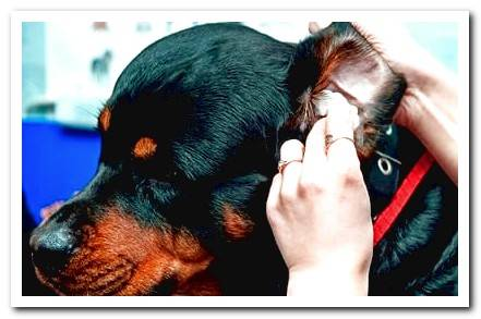 How to know if my dog ​​has Otitis? Symptoms and treatment