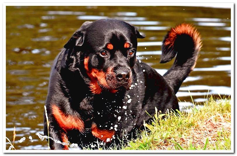 rottweiler-coming-out-of-the-water