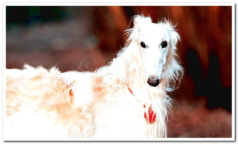 All about the Russian Greyhound (Borzoi)