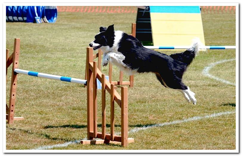 Canine agility: benefits, tournaments and everything you need to know