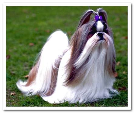 Everything about the Shih Tzu breed With photos!