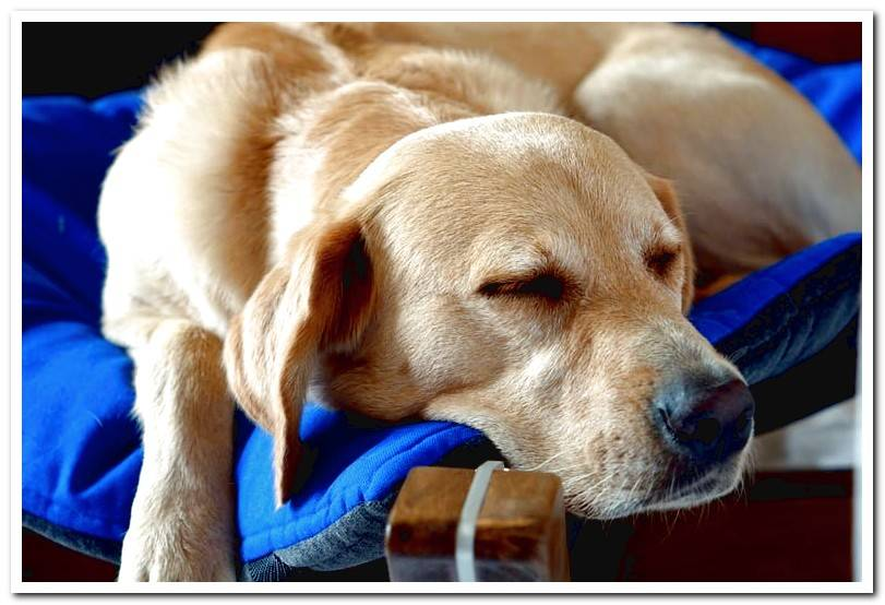 My dog ​​snores. Is it normal? - Symptoms of when we should worry