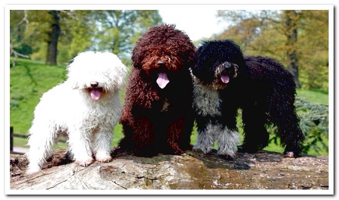 Differences between the Spanish and the Portuguese water dog