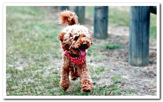 Characteristics of the Toy Poodle, care and photos of the breed