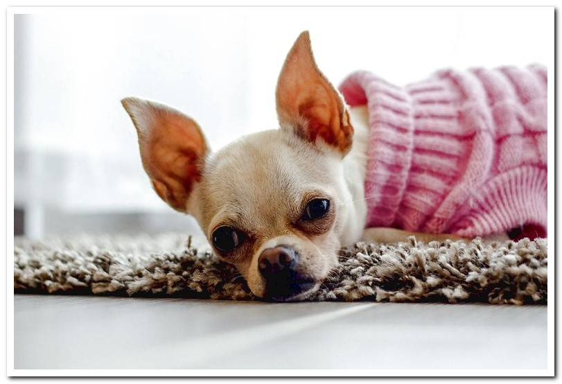 Curiosities of Chihuahua dogs