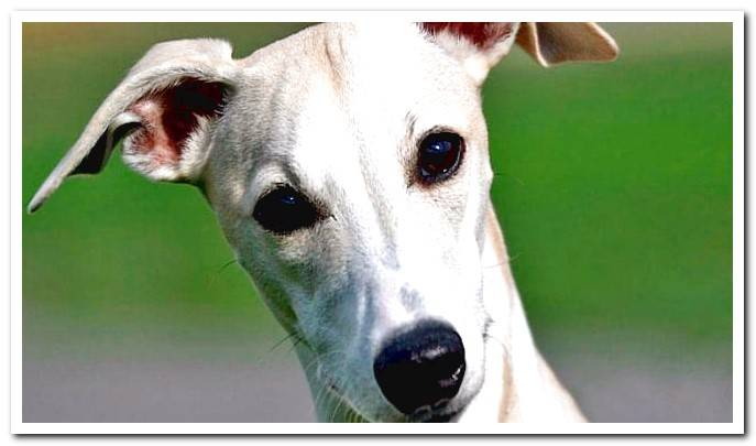 Whippet Dog - Temperament, care, health and nutrition